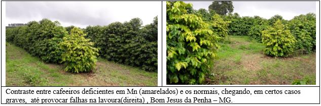 Procafé: Conheça o Manganês, nutriente pouco estudado na cafeicultura brasileira