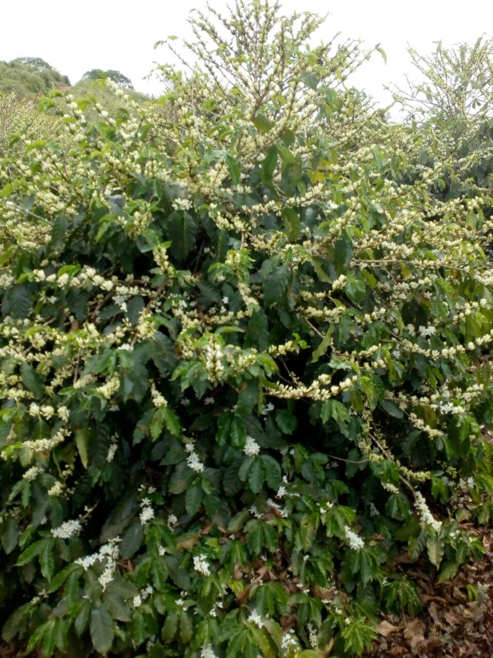 Florada do café em Juruaia (MG) - Foto: Lucas Magalhães