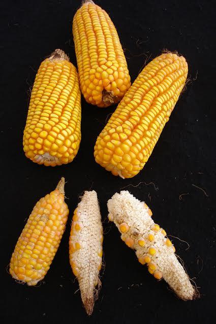 Dano em espigas de milho causado por enfezamento. Imagem cedida pela Embrapa Milho e Sorgo