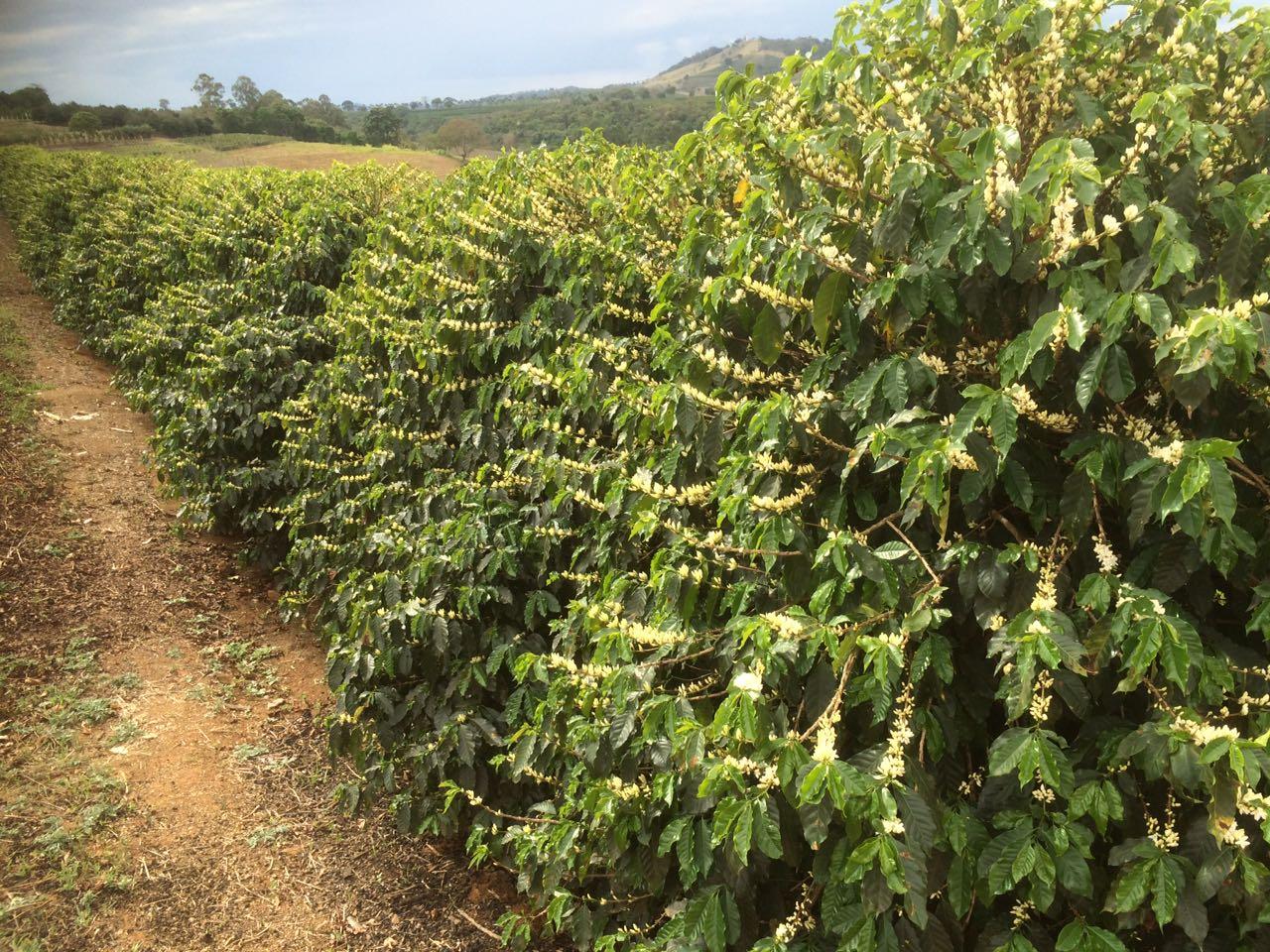 Florada do café em Muzambinho (MG) - Foto: Zé Marcos