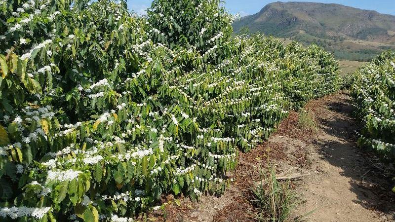 Florada do café em Boa Esperança (MG) - Foto: Manoel Joaquim