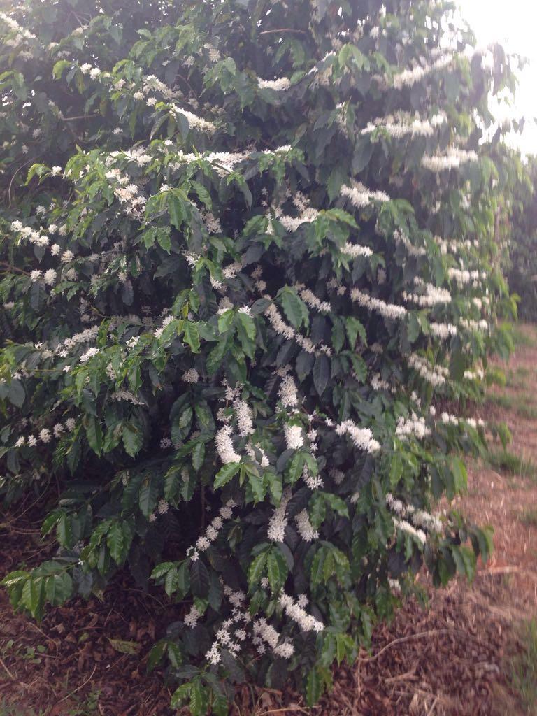 Florada do café em Guapé (MG) - Foto: Armando Matielli