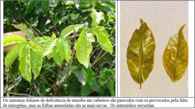 Procafé: Entenda a falta de correlação entre teores de enxofre no solo e em folhas de cafeeiros em condições de campo