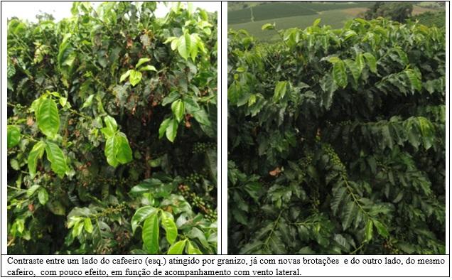 Procafé: Chuva de granizo e Pseudomona, a combinação indesejável para o cafeeiro