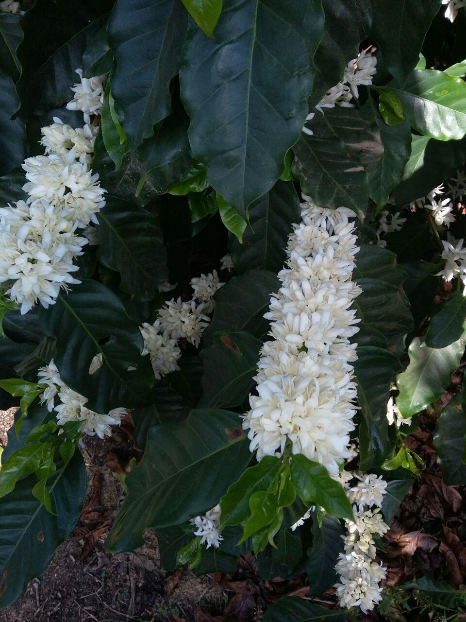 Florada do café em Carmo do Rio Claro (MG) - Foto: Cássio Balbino