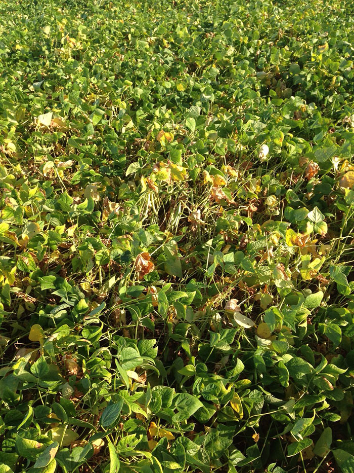 Photos of soybean crops in Unai (MG) region.  Images sent by farmers.