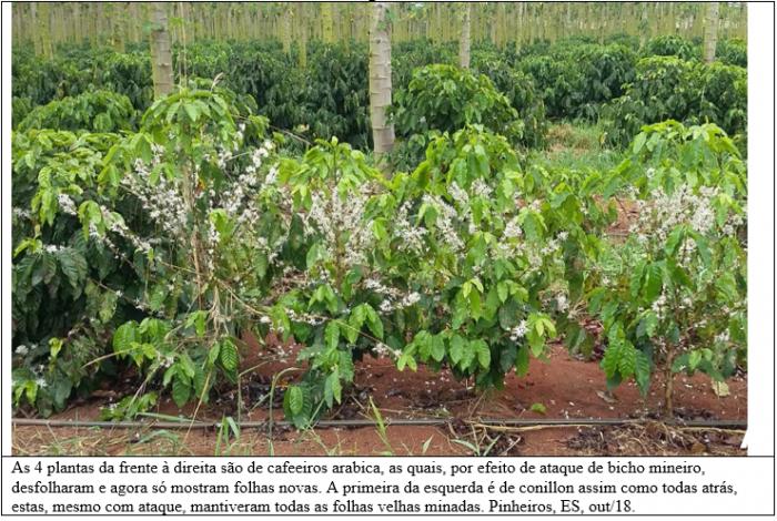 Cafeeiros conillon não desfolham com ataque de bicho mineiro, aponta estudo da Fundação Procafé
