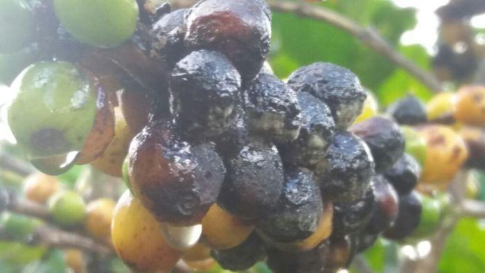 Chuvas atrapalhando colheita do café