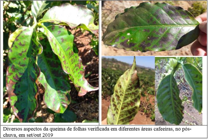 Procafé: Queima de folhas de cafeeiros, pós-chuvas, não é doença